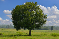 Big tree in grass field with cloudy sky Stock Photos