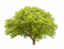 Big green tree. Isolated on white Stock Images