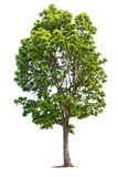 A big green tree isolated on white. Background Royalty Free Stock Image