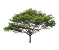 Big green tree isolated. On white background Royalty Free Stock Photo