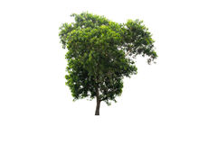 Big green tree Isolated. On white background Stock Photos