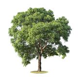 The big and green tree isolated on white background. Beautiful and robust trees are growing in the forest, garden or park.  royalty free stock images
