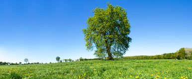 Big green Tree, Meadow and blue Sky. Landscape in summer Royalty Free Stock Photos