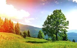 Big green tree standing on grass meadow in mountains.  Stock Photography