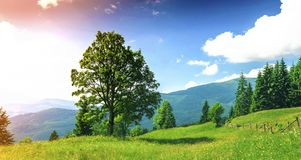 Big green tree standing on grass meadow in mountains.  Stock Photos