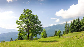 Big green tree standing on grass meadow in mountains Stock Image