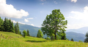 Big green tree standing on grass meadow in mountains Royalty Free Stock Photo