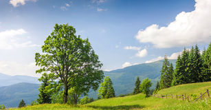 Big green tree standing on grass meadow in mountains Stock Photo