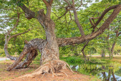 Big green tree and wetlands Royalty Free Stock Images