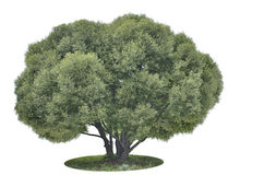 Big green tree on white. Big green tree Salix alba silver  isolated on the white background Royalty Free Stock Photo