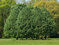 Big green trees on a meadow. Group of Big green trees on a meadow royalty free stock images