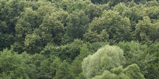 Big green trees. Green trees of mixed forest  in the middle lane Royalty Free Stock Images