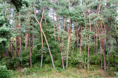 Big green trees in a pine forest Stock Photography