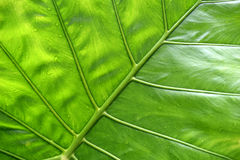 Big green tropical leaf background - Giant Upright Elephant Ear close-up Stock Photo