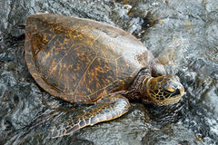 Big green turtle on Hawaii. View of the big green turtle on Hawaii Stock Photography