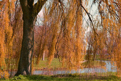 A big green weeping willow tree by the pond in the autumn fall Royalty Free Stock Photo