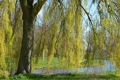 A big green weeping willow tree by the pond Royalty Free Stock Photos
