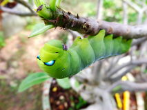 Big green worm Stock Images