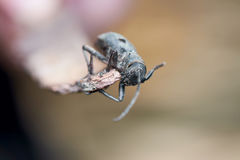 Big Grey Beetle With Black Dots Royalty Free Stock Photos