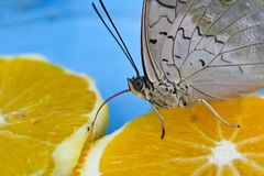 Big grey butterfly eating orange with his tongue.  royalty free stock image