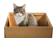 Big grey cat in a cardboard box Stock Photography
