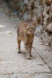 Big grey cat. Big gray striped cat walking at a gray stone wall Royalty Free Stock Photos