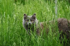 Big grey cat in the green grass. In the courtyard Royalty Free Stock Photography