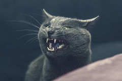 Big grey cat with a grin Royalty Free Stock Photo