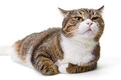 Big grey cat stock images