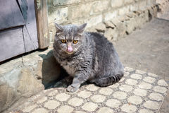 Big grey cat. With orange eyes in the village Royalty Free Stock Images