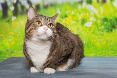Big, grey cat sitting on a blue wooden table. On the background of green grass stock photos