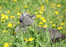 Big grey cat in spring Royalty Free Stock Images