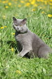 Big grey cat in spring Royalty Free Stock Image