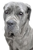 Big grey dog Royalty Free Stock Image