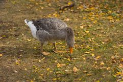 Grey domestic goose walking around and looking out any food on the ground at autumnal season. Big grey domestic goose walking around and looking out any food on Stock Photography