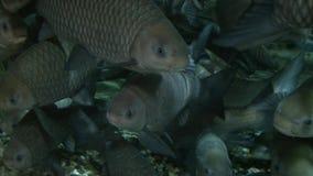 Big grey fish swimming in shanghai aquarium, close up shot stock video