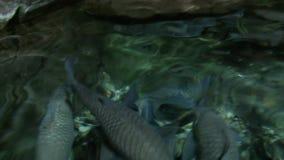 Big grey fish swimming in shanghai aquarium stock video footage