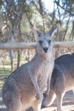 Big Grey Kangaroo at Moonlit Sanctuary. Big gray kangaroo at Moonlit Sanctuary waiting for a handout of food royalty free stock image