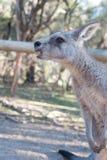 Big Grey Kangaroo at Moonlit Sanctuary. Big gray kangaroo at Moonlit Sanctuary waiting for a handout of food stock photography