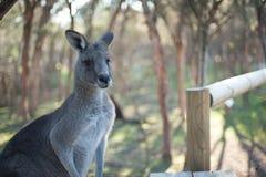 Big Grey Kangaroo at Moonlit Sanctuary. Big gray kangaroo at Moonlit Sanctuary waiting for a handout of food royalty free stock photo