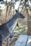 Big Grey Kangaroo at Moonlit Sanctuary. Big gray kangaroo at Moonlit Sanctuary waiting for a handout of food stock images