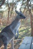 Big Grey Kangaroo at Moonlit Sanctuary. Big gray kangaroo at Moonlit Sanctuary waiting for a handout of food royalty free stock photos