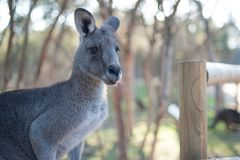 Big Grey Kangaroo at Moonlit Sanctuary. Big gray kangaroo at Moonlit Sanctuary waiting for a handout of food royalty free stock images