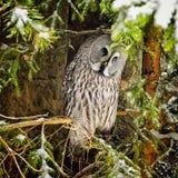 Big grey owl at tree in winter3 Stock Photo