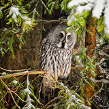Big grey owl at tree in winter2 Stock Images