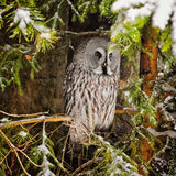 Big grey owl at tree in winter5 Royalty Free Stock Photos