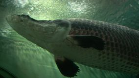 Big grey pike arapaima swimming above the camera, low angle shot