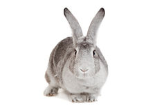 Big grey rabbit on a white Stock Photos