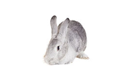 Big grey rabbit on a white Royalty Free Stock Images