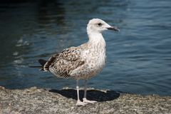 Big Grey Seagull Royalty Free Stock Image